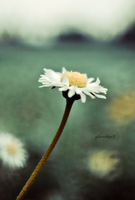 White Daisy Passing by ifsantag