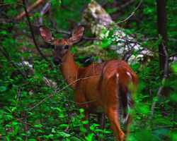 Doe! A Deer! by EVOL-Photography