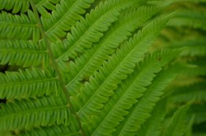 Arboretum Fern by PoultryChamp