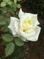 White Rose by David-Ritter