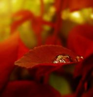 Rose Leaves by Callu