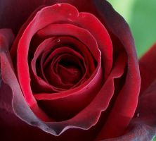 heart of the rose by kairanie