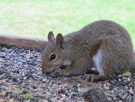 Gray Squirrel 3 by Windthin