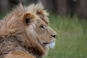 Lion by SarahharaS1