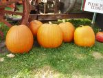 Pumpkin Stock 4 by GreenEyezz-stock