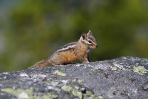 Chipmunk by davidst123