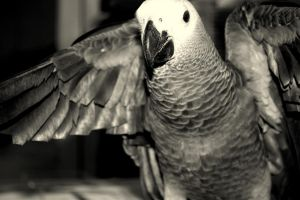 CoCo the African Grey by Rhondafdez