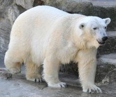 polar bear stock 1 by Sikaris-Stock