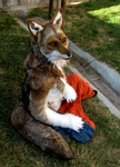 Coyote resting by Eddie-Ka
