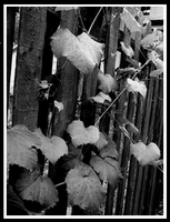 Ivy on Fence Two by DayDreamsPhotography
