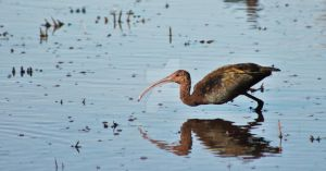White Faced Ibis by snoboarderEm