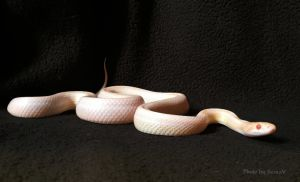 Opal Corn Snake by SessaV
