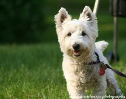 West Highland White Terrier by animemusichorses