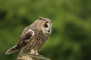 'Jonathan Edwards' the Long-Eared Owl by Skarkdahn