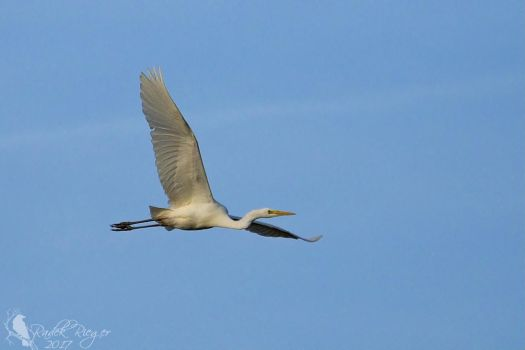 Flying Great egret (Ardea alba) 3 by PhotoDragonBird