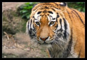 Panthera tigris altaica by Taktloss