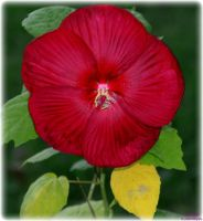 Red Hibiscus by panda69680102
