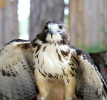 Red Tailed Hawk by cindy1701d
