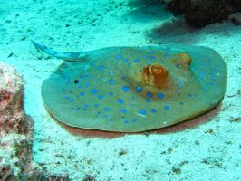 Blue Spotted Stingray by OccipitalClimax