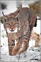 Lynx in Snow by brijome