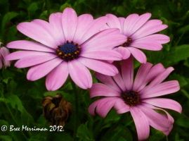Purple Daisy II by BreeSpawn
