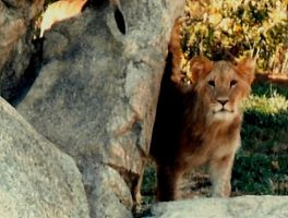 lion cub by bewilderedconfused