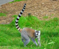 Ring Tailed Lemur by Soul-Reader