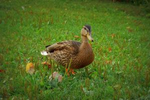 Ducking by MLgraphy