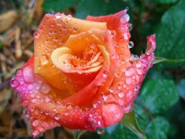 Rain Drop 'Diamonds' on a Rose by jenellegoldenstein