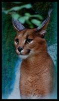 caracal by morho