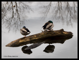 Too Sleeping Ducks by Mogrianne