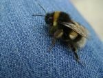 Bumblebee 4 by Panopticon-Stock