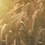 wheatness by S-Patriot