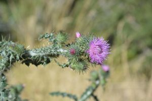 Flowery begin of thistle by A1Z2E3R