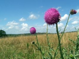 Thistle by GRM327