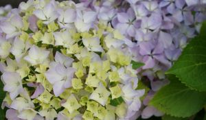 Blooming Hydrangea by Hesthea