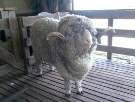 Merino Ram by Infected-Rose
