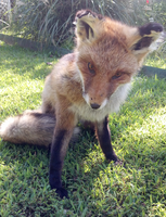 Red Fox Soft Mount - For Sale by TabbyFoxTaxidermy