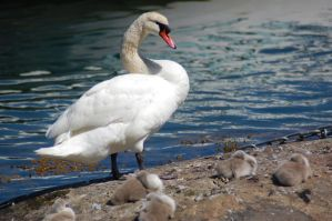 Swan and babies 2 by decors