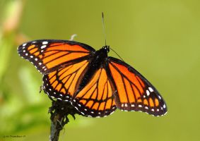 Viceroy Butterfly by natureguy