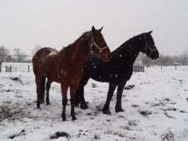 Horses in Snow by Horselover60-Stock