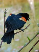red-winged blackbird i by intertwhined