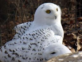 Snowy Owl by WillowIstari
