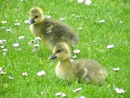 Goslings 09 - 4 by Queenselphie