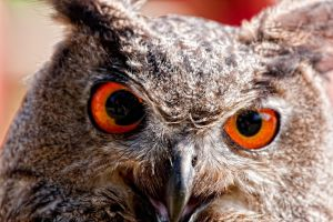 eagle owl_III by deoroller