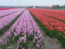 Tulip Field by Otoff