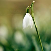 8.52 - Snowdrop by head-in-the-cloud