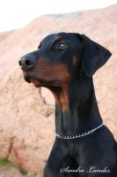Portrait of a Dobermann by Oceanforce