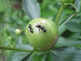 Two Ants on a Peony Flower Bud by Lark-Catalpa-Royal8