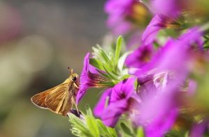 Skipper Butterfly by AlinaKurbiel